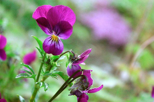 violets b9201