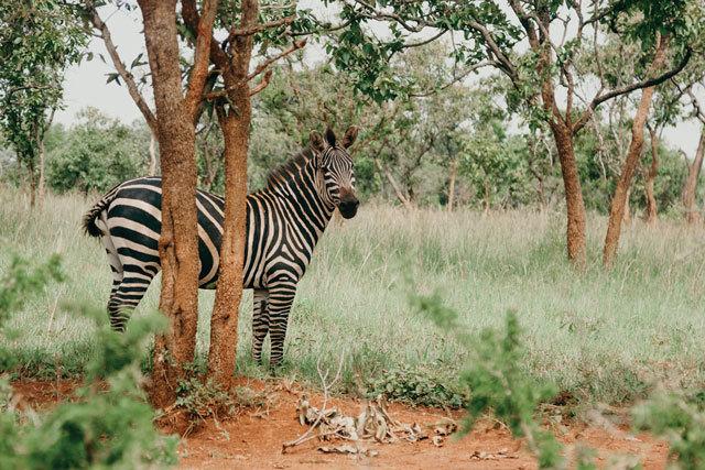 Akagera Zebra 813aa