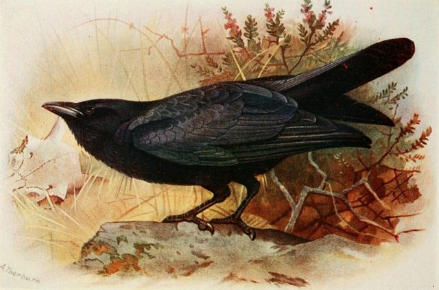 a raven from the birds of the british isles by t a coward 1919 768x507 d1732