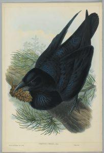 corvus corax raven by john gould 19th century 204x300 b468b