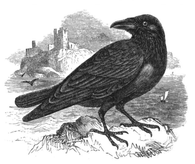 the raven fron natural history of birds by philip henry gosse 1849 768x647 3f9f7