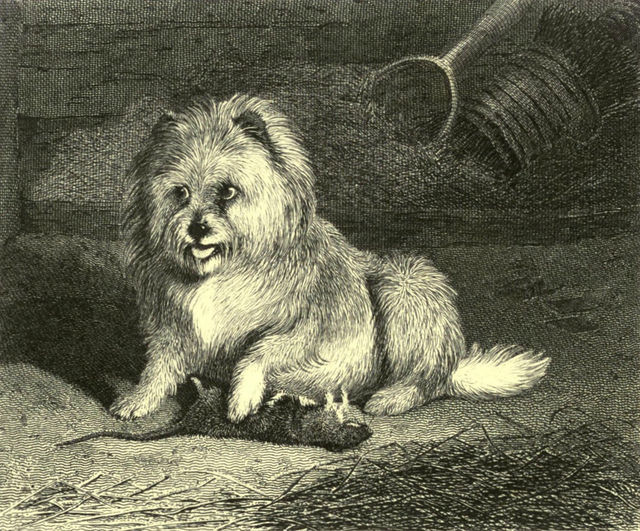 vixen a thoroughbred scotch terrier by edwin landseer engraved by thomas landseer 1853 528fb