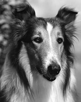 pal as lassie close up 1942 471d2