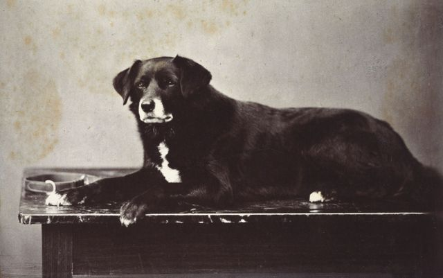 sharp queen victorias favourite collie aged 8 years 1872 7b4ca