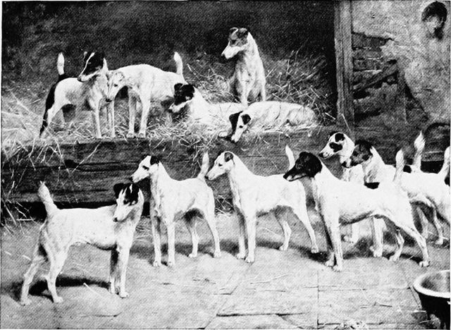 fox terriers in their kennels from the new book of the dog by robert leighton 1906 768x562 53e90