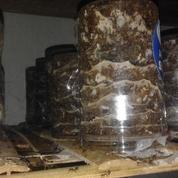 Ternak Semut Merah (11233279) di Kab. Garut