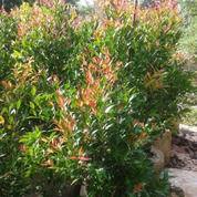 Pohon Pucuk Merah 081298415350
