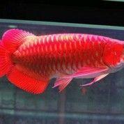 Ikan Arwana Sisiknaga (13183343) di Kab. Bolaang Mongondow Timur