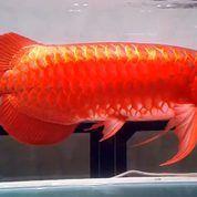 Ikan Arwana Super Red (13183499) di Kota Kendari