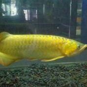 Ikan Arwana Super Golden (13183561) di Kota Bau Bau