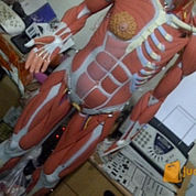 anatomy otot tubuh lengkap organ dalam 3B scientific germany B50 B51 (1339352) di Kota Jakarta Pusat