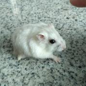 Hamster Mix Winter White Dwarf Terawat Dan Lucu2 (13848531) di Kota Surabaya