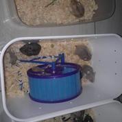 Berbagai Hamster (13993829) di Kab. Sukoharjo