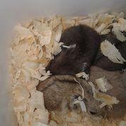 Berbagai Macam Hamster (14003957) di Kab. Sukoharjo