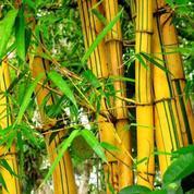 Bambu Kuning Jumbo (14082025) di Kab. Bojonegoro