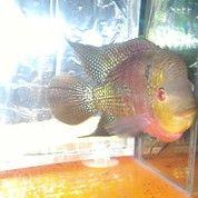Ikan Louhan Cencu SRM 15 Cm Up