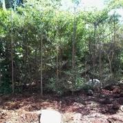 Pohon Cemara Lilin.Cemara Tretes 081292127731 (14195629) di Kota Tangerang