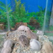 Hamster Winter White Pearl. Argente