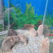 Hamster Campbell Anak