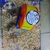 Hamster Campbell Indukan