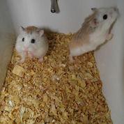 Hamster Roborovski Muka Putih