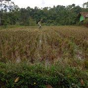 Sawah Luas Di Desa Panenjoan (14928077) di Kota Bandung