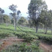 Kebun Teh Pinggir Jalan 11 Ha Di Perbatasan Subang Purwakarta (15297749) di Kab. Purwakarta