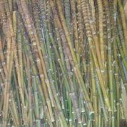 Bambu Cendani Bahan Gagang Pancing (15635233) di Kab. Wonosobo