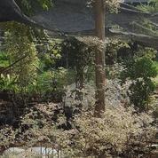 Pohon Ketapang Kencana Varigata / Putih (15670241) di Kota Tangerang