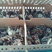 Doc Ayam Arab Petelur Kualitas Dijamin Menguntungkan