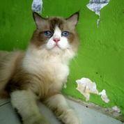 Kucing Anggora Jantan.Umur 9 Bulan.Warna Abu-Abu Campur Putih. Mata Biru Terang.A (15722929) di Kota Pekanbaru