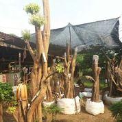 Bahan Bonsai Anting Putri 30pohon Borongan Di Cariu Jonggol