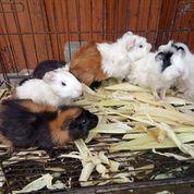 Marmut Hias Guine Pig