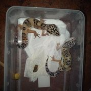 Gecko Anakan Gecko (16558307) di Kota Jakarta Selatan