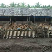 Bebek Siap Telur (16767823) di Kab. Mojokerto