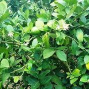 Tanah Kebun Jeruk Lemon Produktiv Dibatu (16974227) di Kota Batu