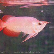 Arwana Petshop Red Midas (17087355) di Kota Manado