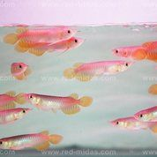 Arwana Golden Red (17087375) di Kota Pekanbaru