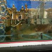 Ikan Gabus Channa Bloso Betutu Malas Benging Marbled Golby (17267763) di Kota Jakarta Selatan