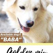 Anjing Golden Mix Kintamani (17837511) di Kab. Tulungagung