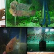 Burayak Ikan Louhan/Lohan Cencu X Gb