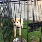 Anjing Puppies Golden (18005131) di Kota Tangerang