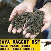Bibit Maggot BSF MURAH BERKUALITAS (18065375) di Kab. Semarang