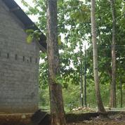 Pohon Jati Tua Siap Tebang (18171243) di Kab. Sleman