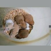 Hamster Syrian & Winterwhite (18235007) di Kota Bengkulu