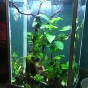 Aquarium Tinggi Keatas Lengkap Ikan & Pohon Anubias Yg Sdh Rindang (18247055) di Kota Jakarta Pusat