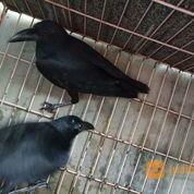 Burung Gagak Hutan