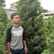 Pohon Cemara Tretes.Kipas.Pua Pua. Lilin. Pinus. Udang (18359115) di Kota Tangerang