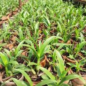Bibit Seedling Anggrek Dendrobium (18413947) di Kota Malang