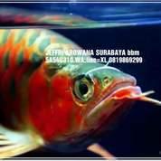 Ikan Arwana Arowana Operasi Mata Turun De Sirip Insang Sisik Rusak (18418319) di Kota Surabaya